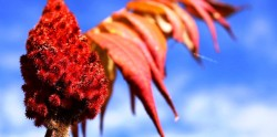 Health benefits of sumac