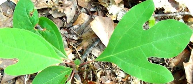 Health benefits of Herb Sassafras