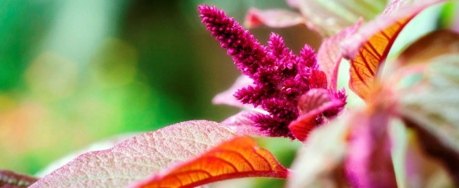 Health benefits of Amaranth / Kiwicha