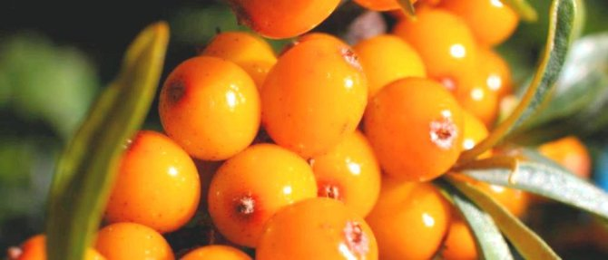 Health benefits of Sea Buckthorn Berry