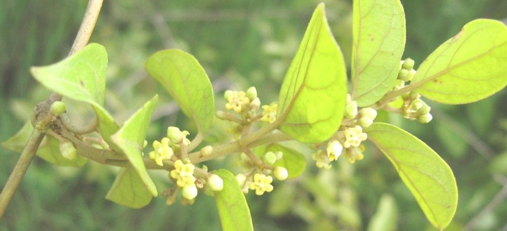 Health benefits of Gymnema sylvestre / Gurmar