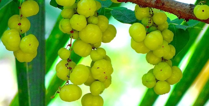 Health benefits of Amla  / Amalaki / Indian Gooseberry