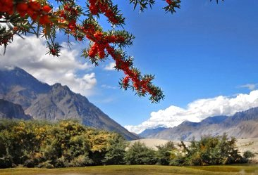 seabuckthorn branch with mountains