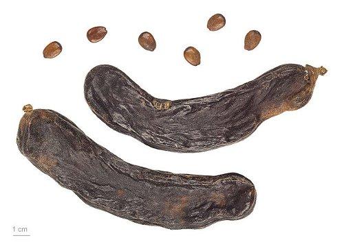 carob seeds benefits
