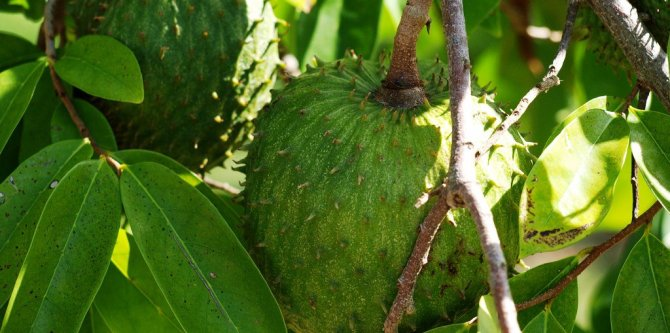 Health benefits of Graviola or Soursop