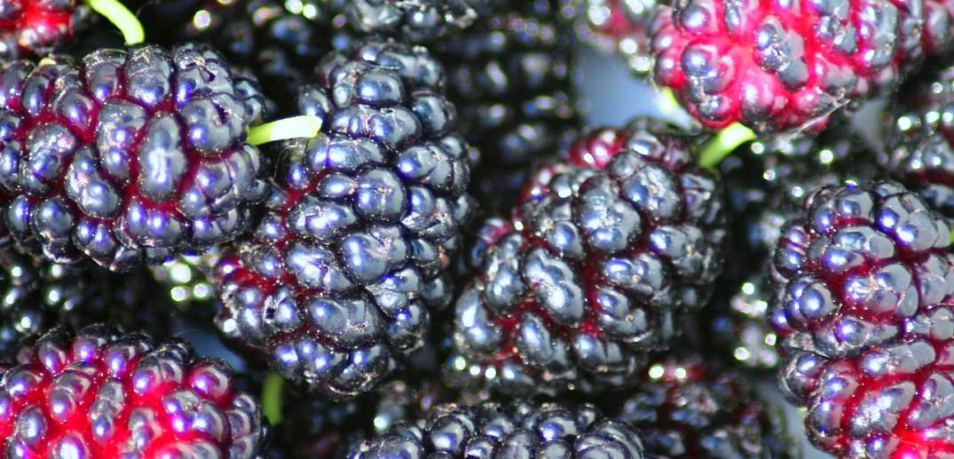 health benefits of mulberry