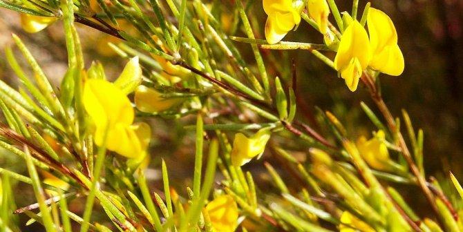 Amazing Rooibos Tea Health benefits