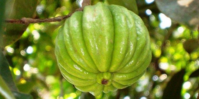Any benefits of Garcinia cambogia?