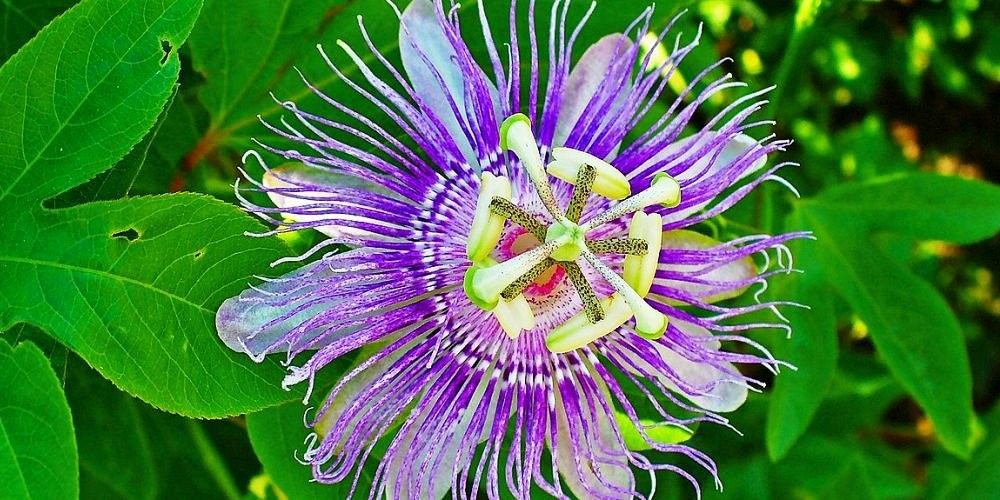 Health benefits of passiflora incarnata / maypop