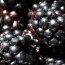 Health benefits for blackberries