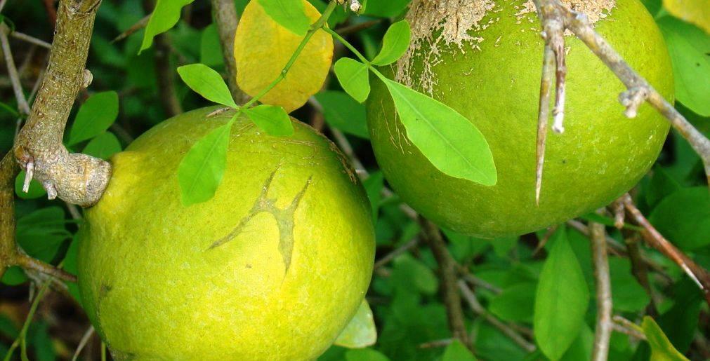 health benefits of bael