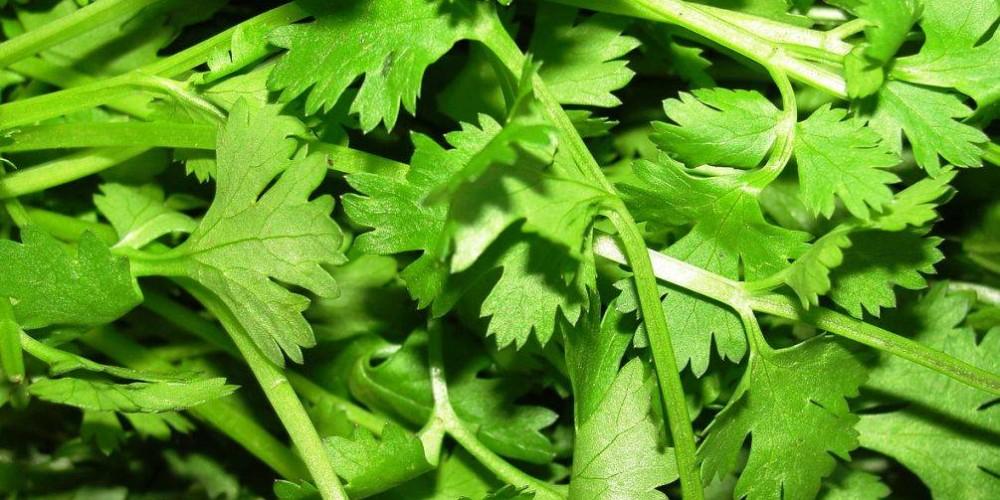 Health benefits of Cilantro / Coriander