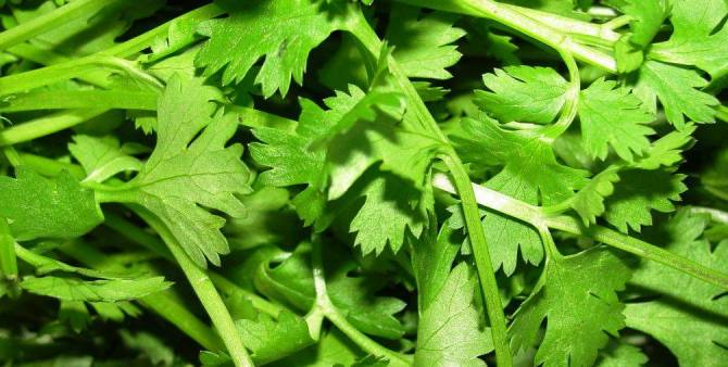 Health benefits of Cilantro / Coriander