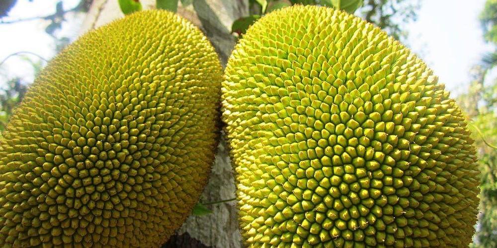 Amazing benefits of Jackfruit