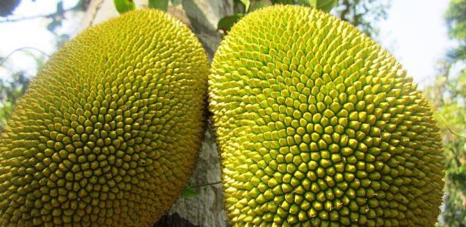 Amazing benefits of Jackfruit