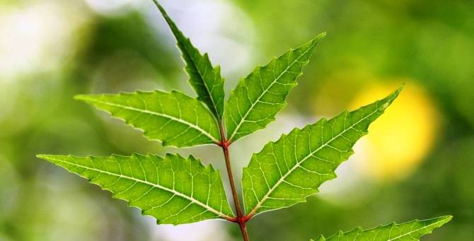 Nature's gift to mankind – Neem