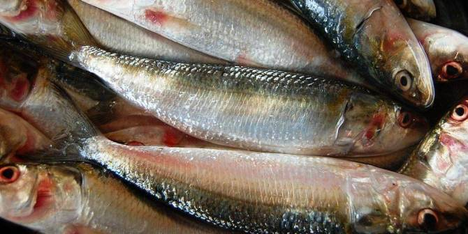 The Unsung Sardines benefits