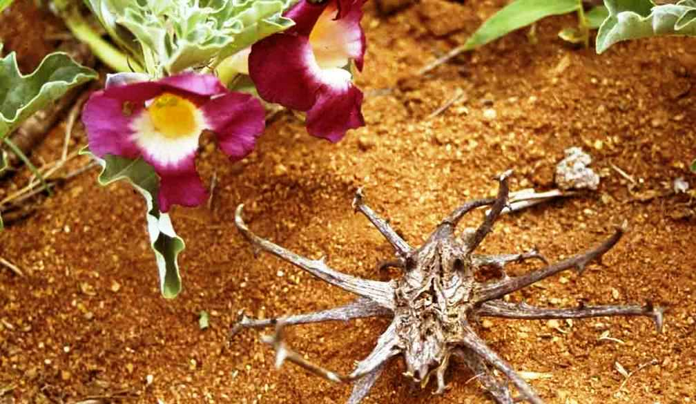 benefits of devil claw