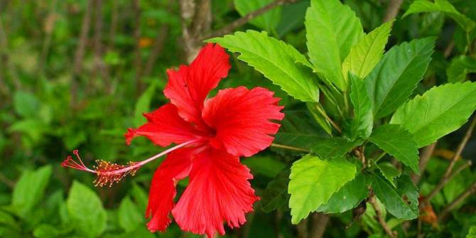 Health benefits of Hibiscus rosa sinensis