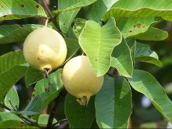 guava and guava leaf