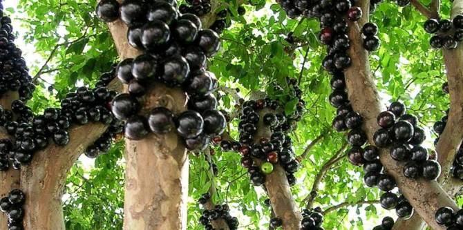 Health benefits of Jaboticaba