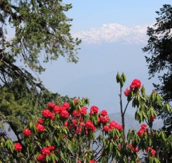 burans flowers with Himalayas in background