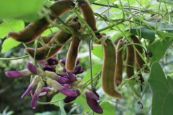 Mucuna Pruriens flowers and pods