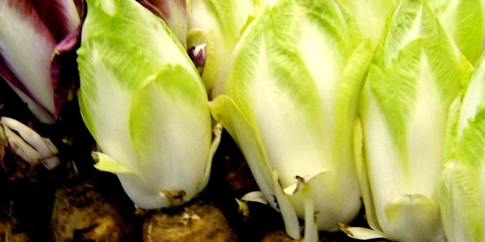 Health benefits of Endives