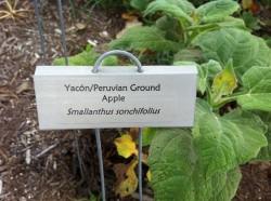 yacon plant photo