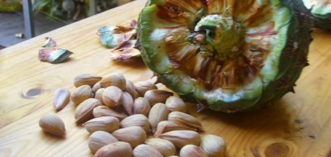 Health benefits of bunya nut