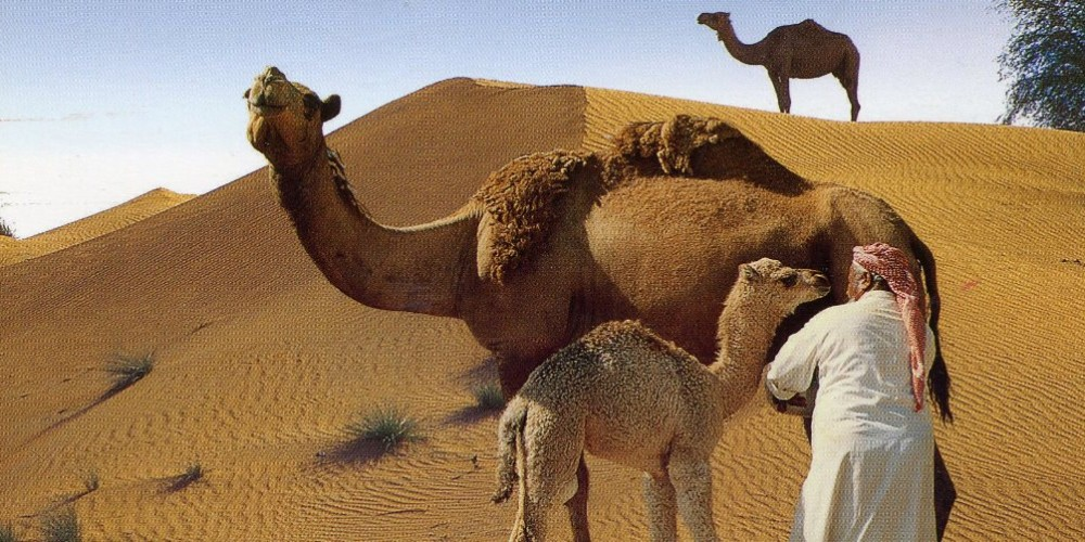 Health benefits of Camel milk
