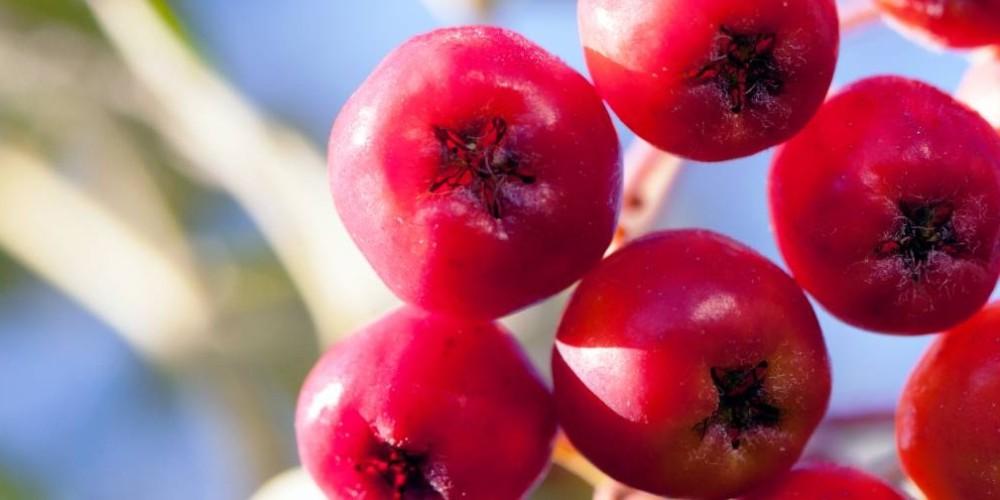 Health benefits of Rowan berry