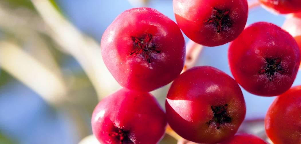 health benefits of rowan berries