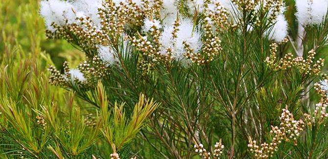 flowering in tea tree