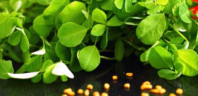 All you want to know about Fenugreek health benefits