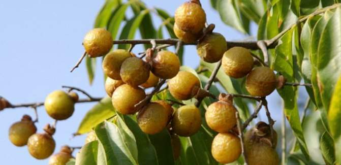 Benefits of Soap nuts / Reetha