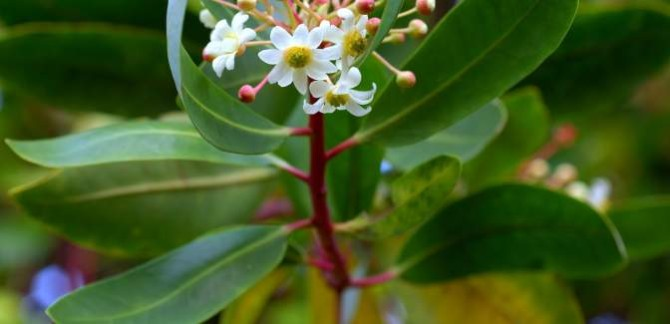 Any benefits of Brazilian secret herb – Catuaba?