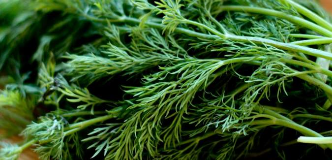 12 amazing benefits of Dill