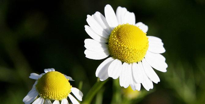 benefits of Chamomile herb