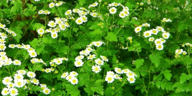 Fewer known benefits of Feverfew