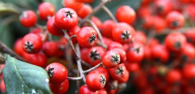 Health benefits of hackberry