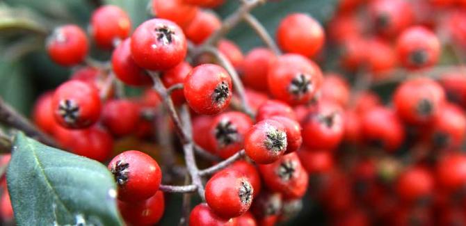 hackberry health benefits