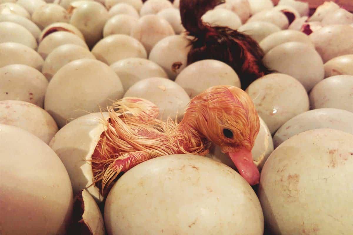 Process of incubating duck eggs